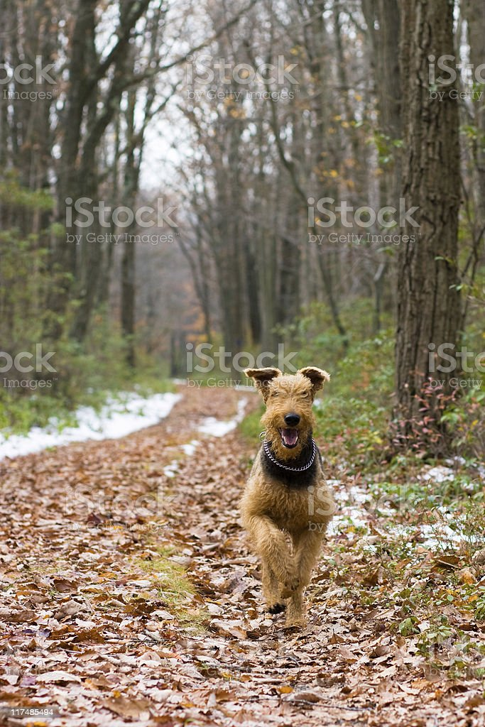 running Airedale terrier stock photo