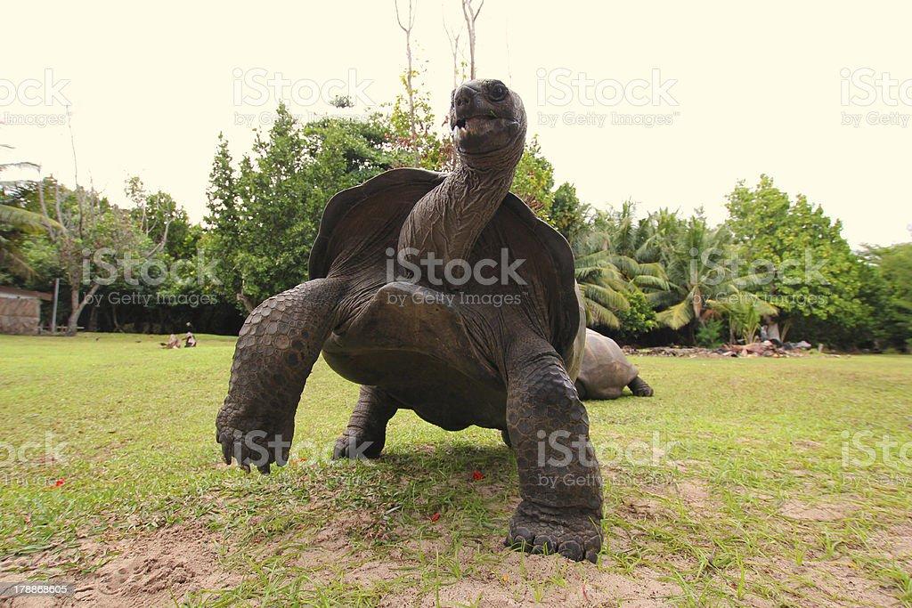 Running Aldabra Giant Tortoise, Aldabrachelys gigantea, Seychelles stock photo