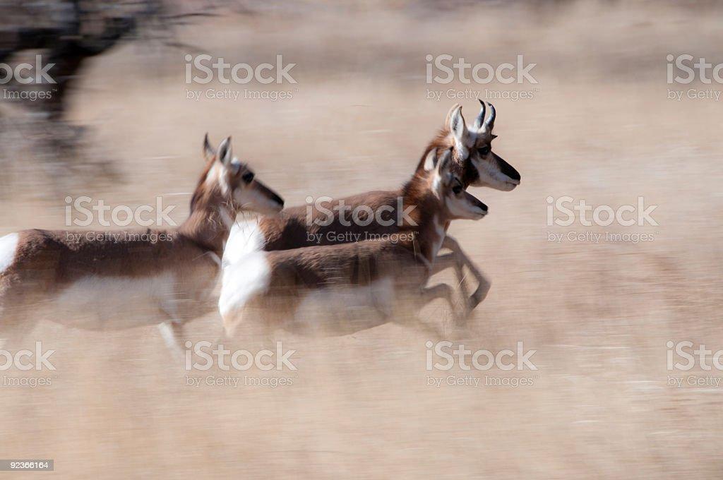 Running antelope stock photo