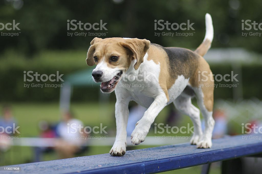 Running Beagle royalty-free stock photo