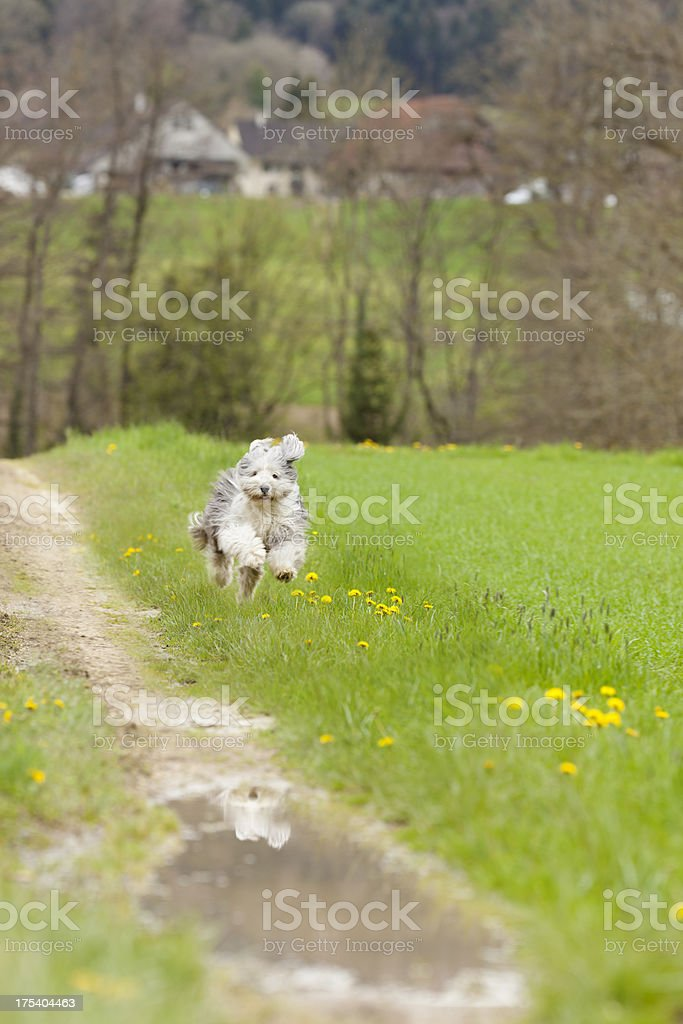 running bearded collie royalty-free stock photo