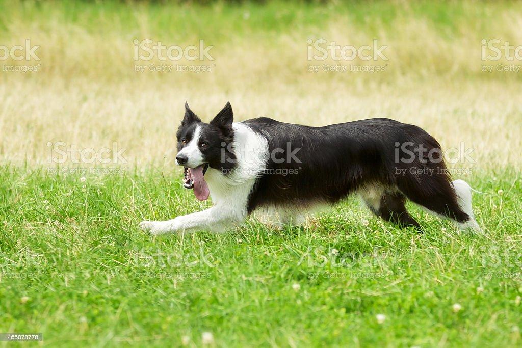 Running border collie stock photo