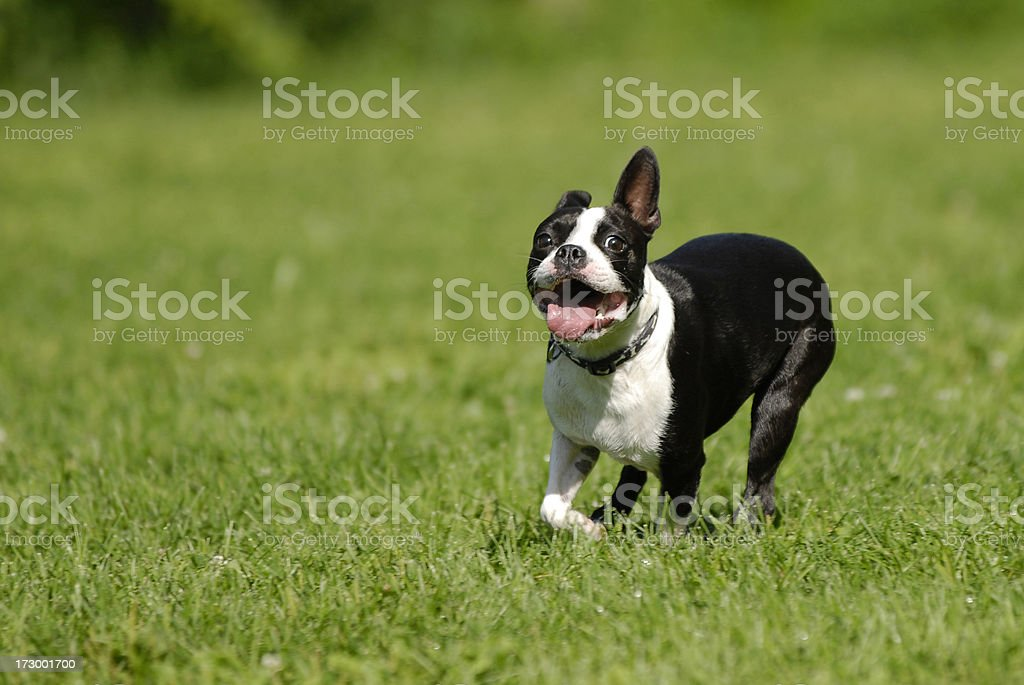 Running Boston Terrier royalty-free stock photo