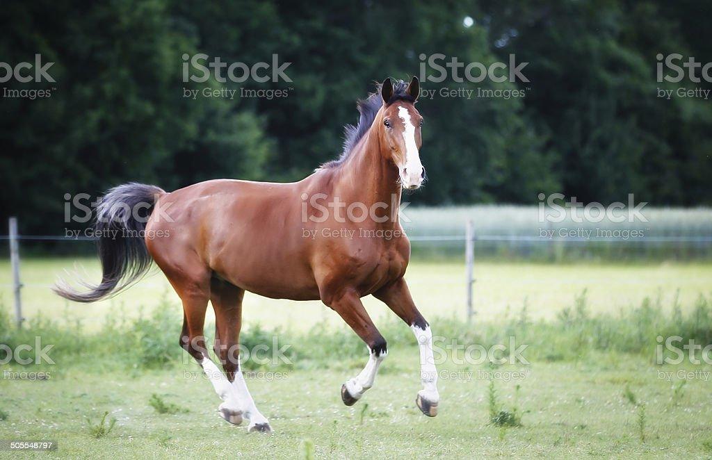 Running brown horse stock photo
