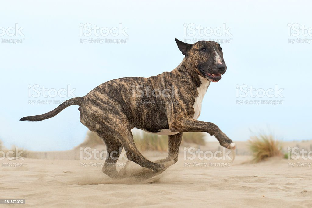 running bull terrier stock photo