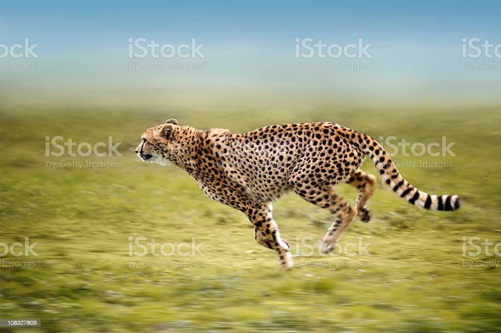 running cheetah stock photo