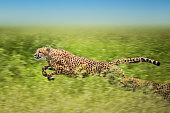running cheetahs