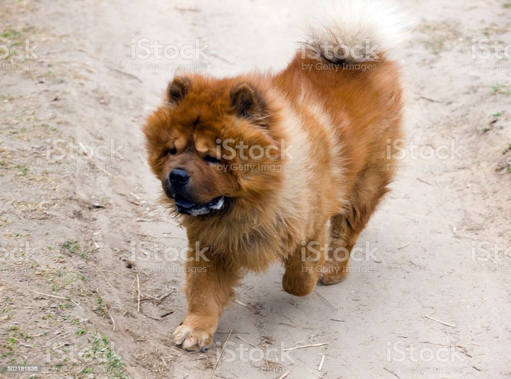 Running chow-chow stock photo