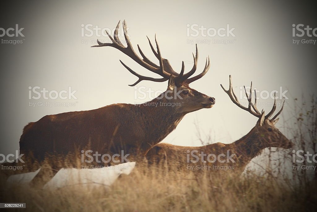 running deers stock photo