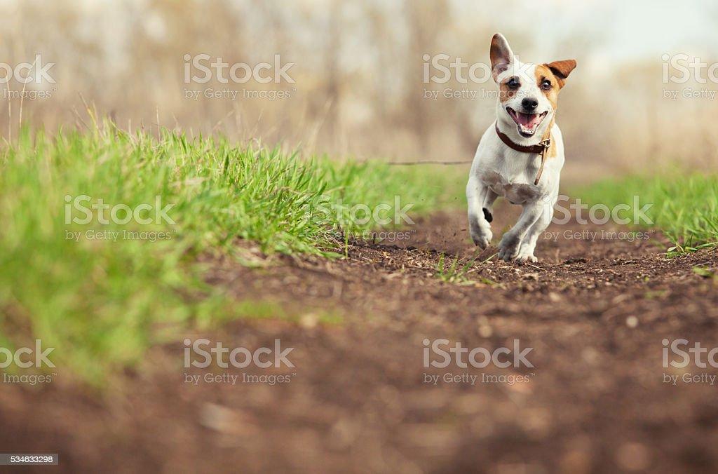 Running dog at summer stock photo