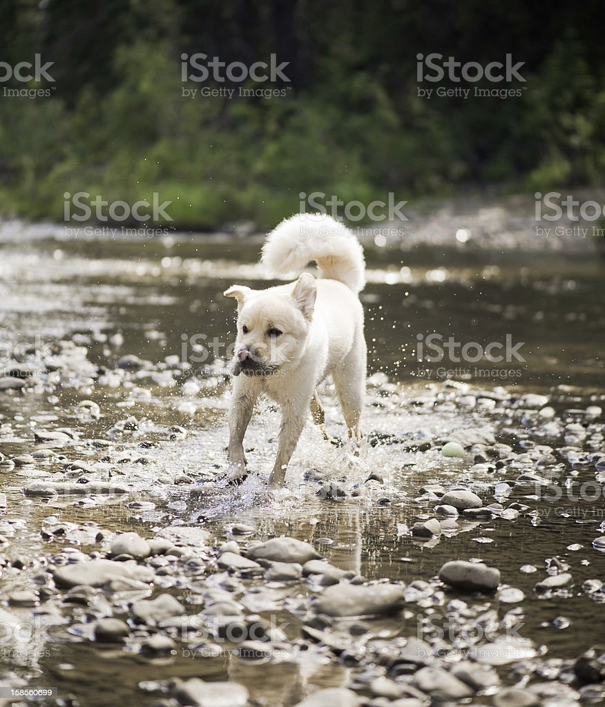 Running Dog In Water royalty-free stock photo