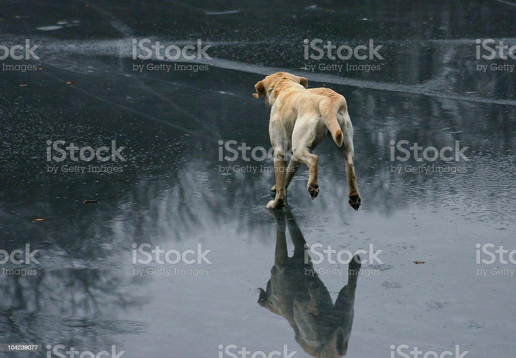 Running Dog on Ice stock photo