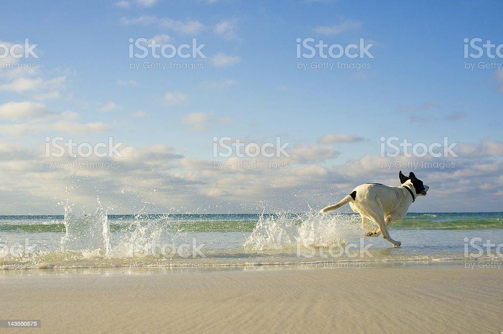 Running Dog royalty-free stock photo