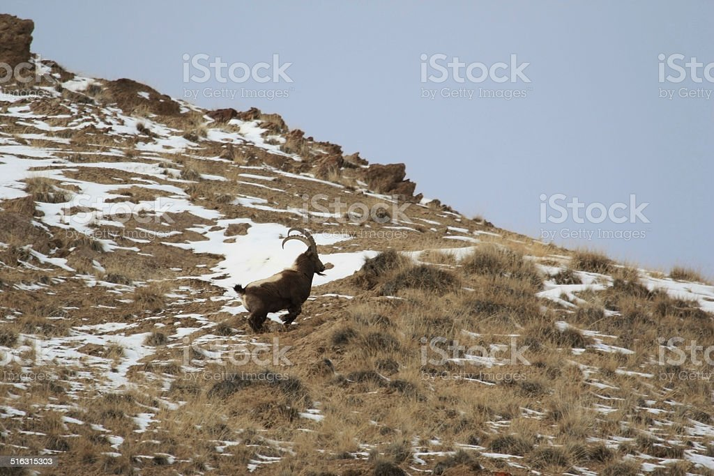 Running down the slope Ibex. Goat in the mountains stock photo
