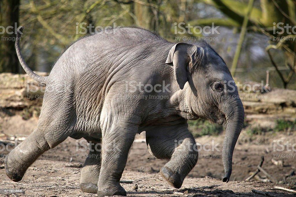 running elephant calf stock photo