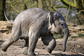 running elephant calf