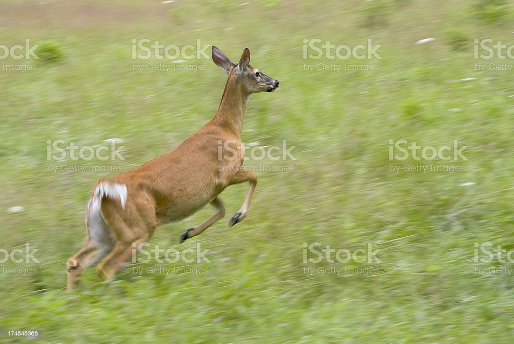 Running Female of White-tailed Deer in Great Smoky Mountains NP royalty-free stock photo