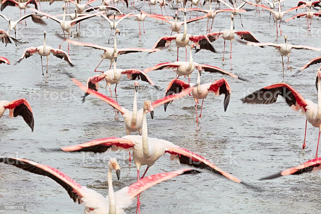 Running flamingos in Camargue, France stock photo