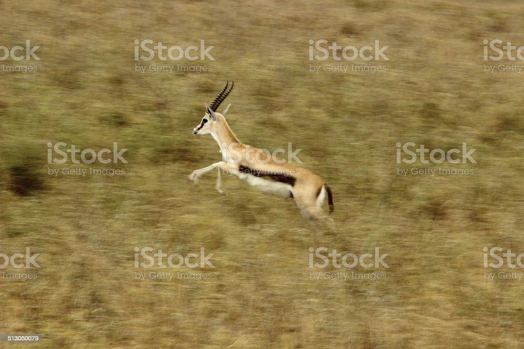 running gazelle stock photo