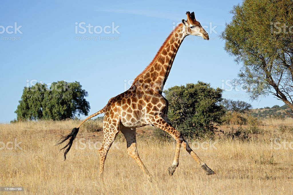 Running giraffe stock photo