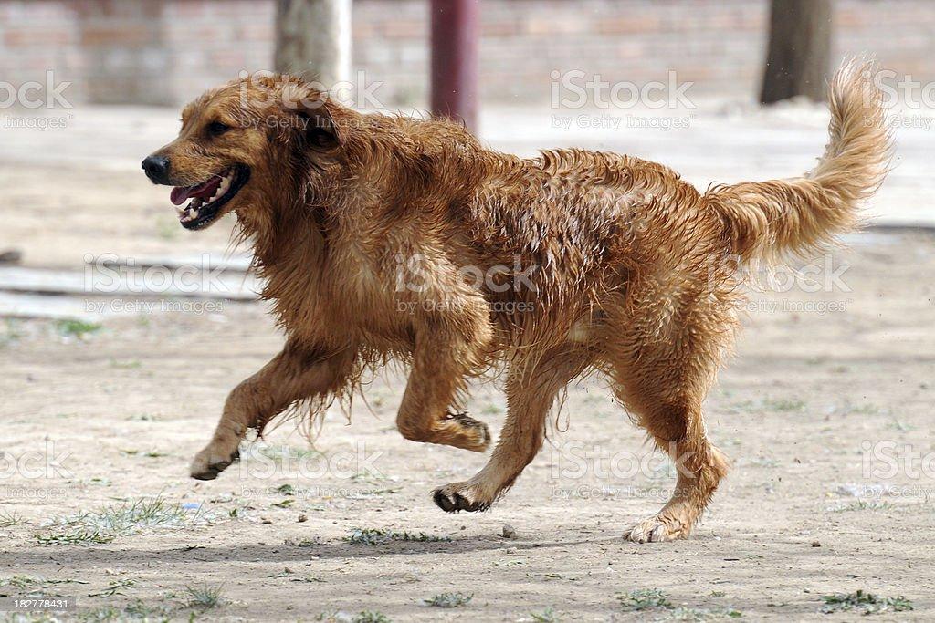 Running Golden Retriever - Large royalty-free stock photo