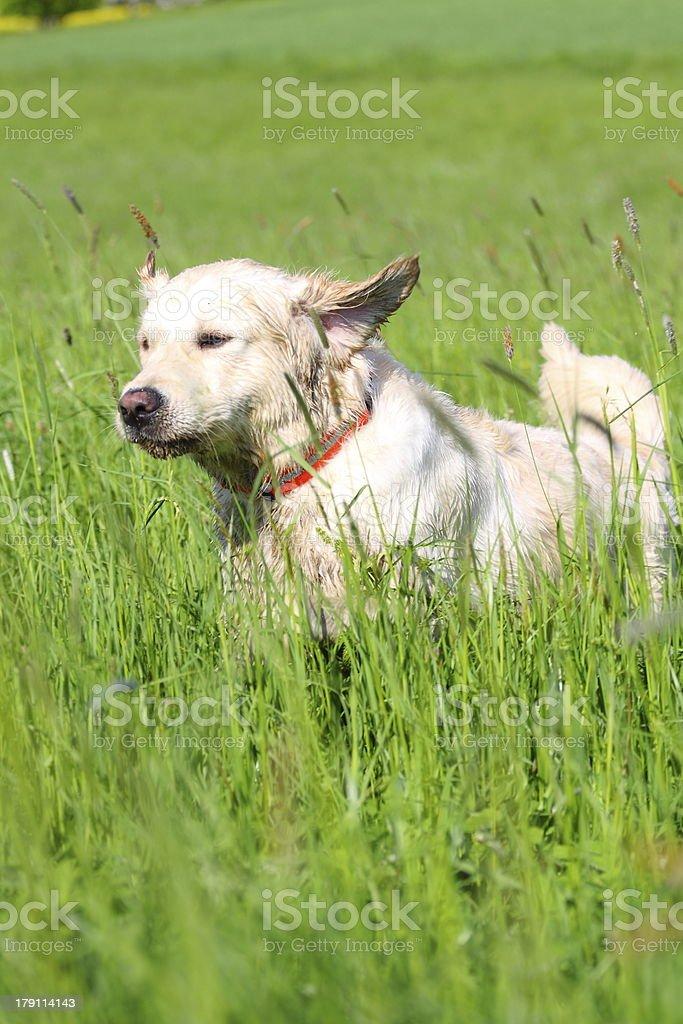 Running Golden Retriever royalty-free stock photo