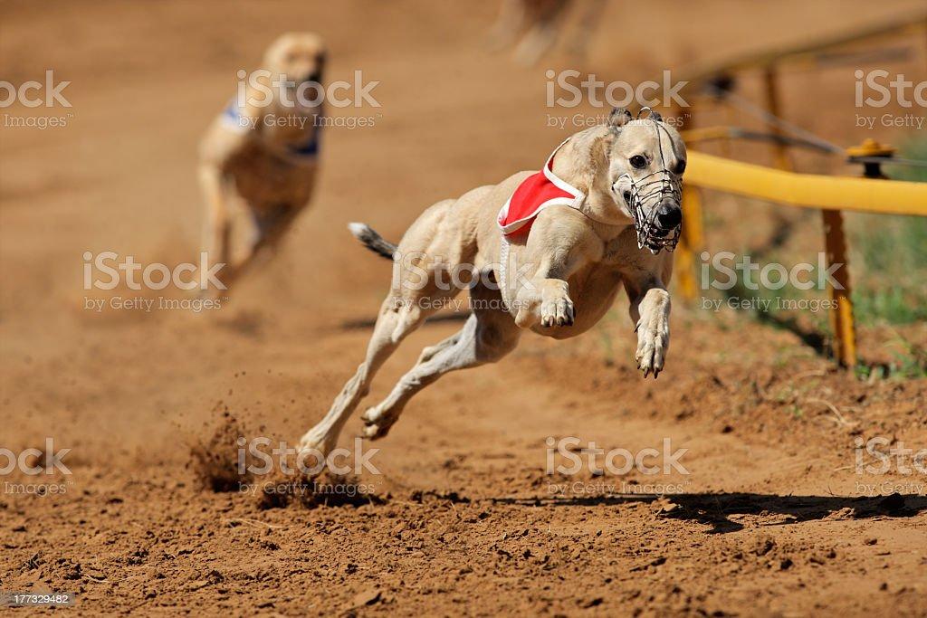 Running greyhound on dog track with muzzle and bib stock photo