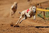 Running greyhound on dog track with muzzle and bib
