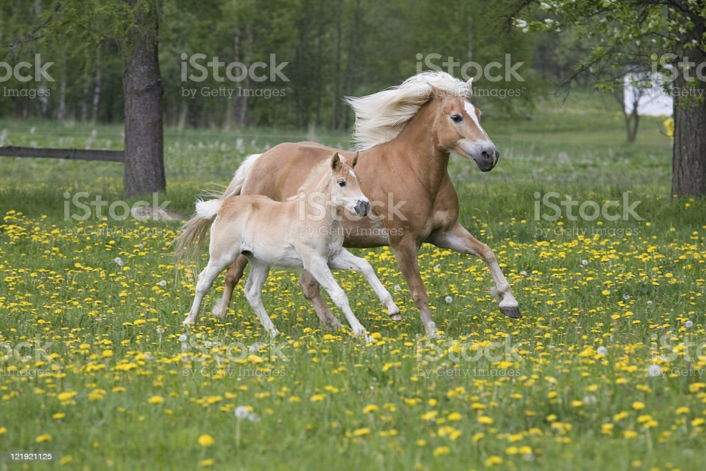 Running haflinger mare with foal stock photo
