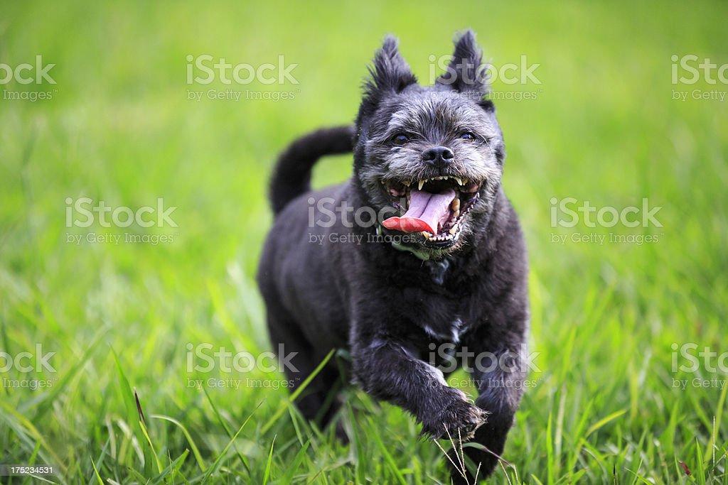 Running happy dog royalty-free stock photo
