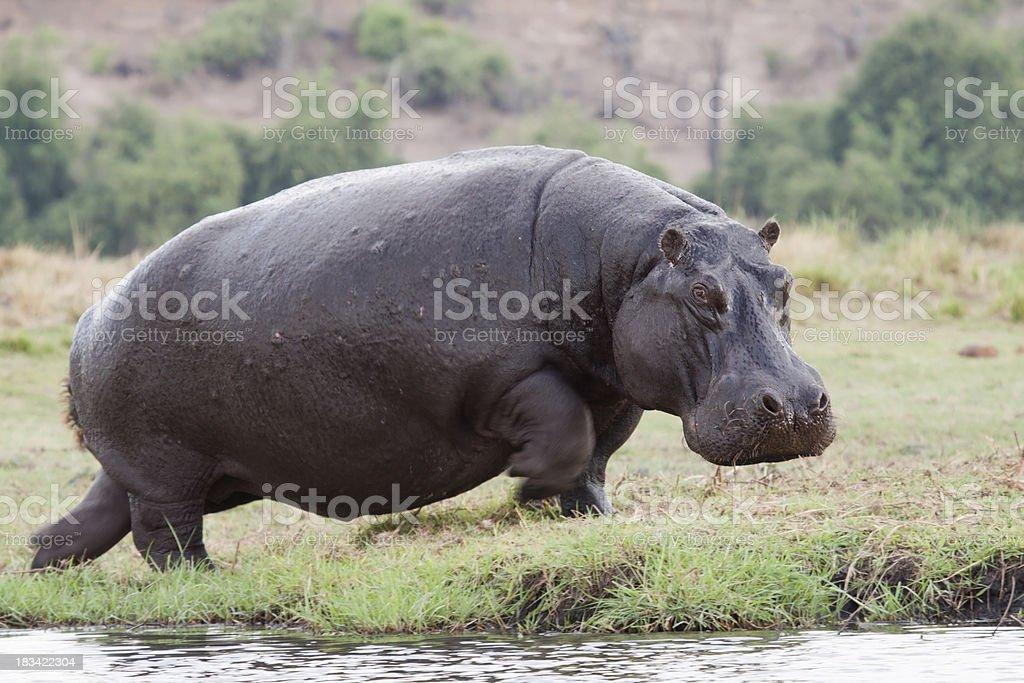 Running Hippo stock photo
