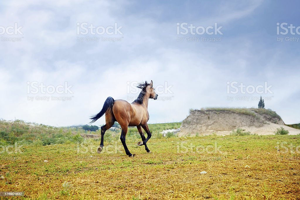 Running horse royalty-free stock photo