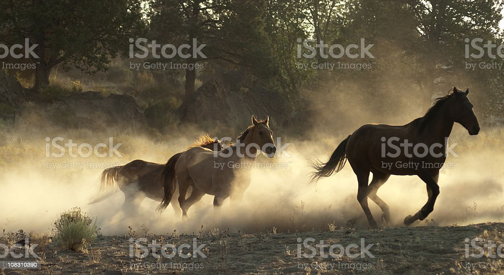 Running horses w/kicked up backlit dust stock photo