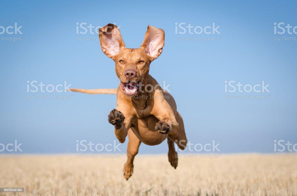Running hungarian vizsla stock photo