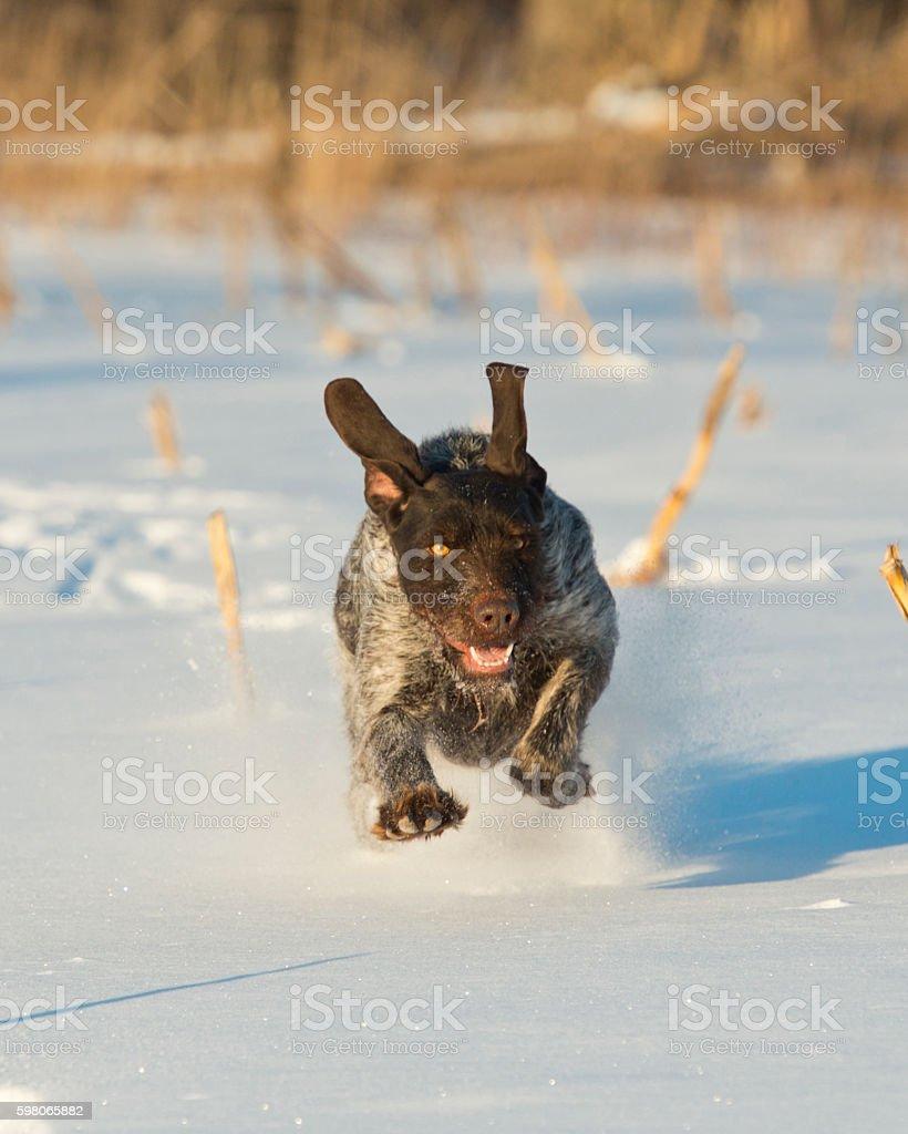 Running Hunting dog stock photo