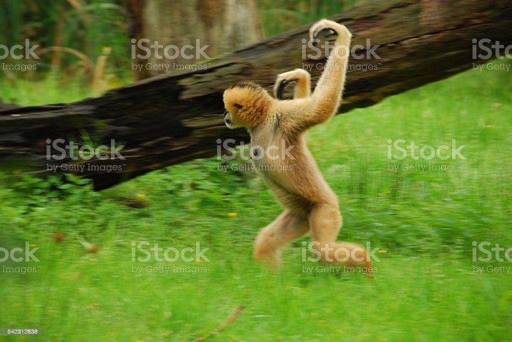 Running Lar Gibbon in blurred motion. stock photo