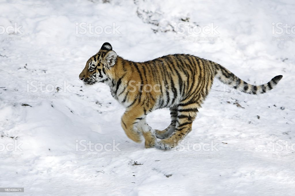 Running Little Tiger royalty-free stock photo
