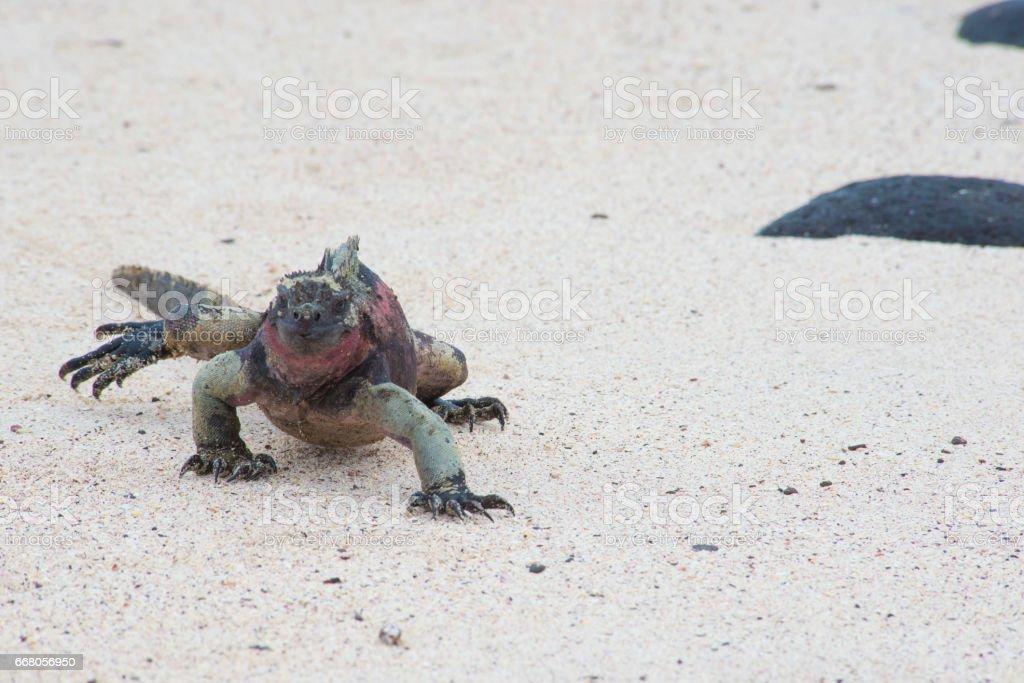 Running Lizard stock photo
