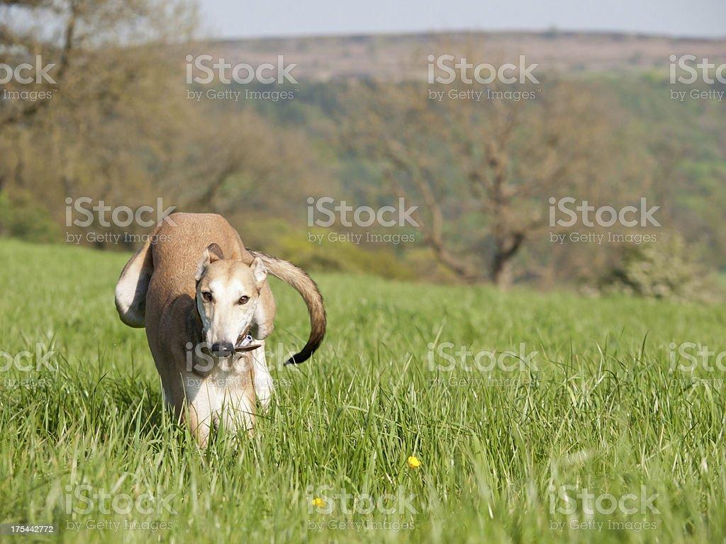 Running Lurcher stock photo
