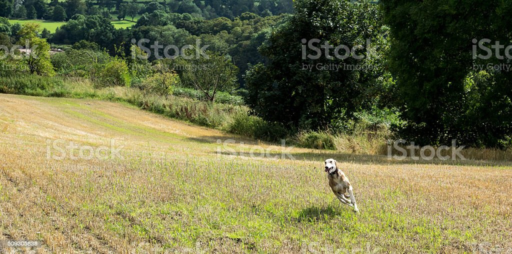 Running Lurcher stock photo