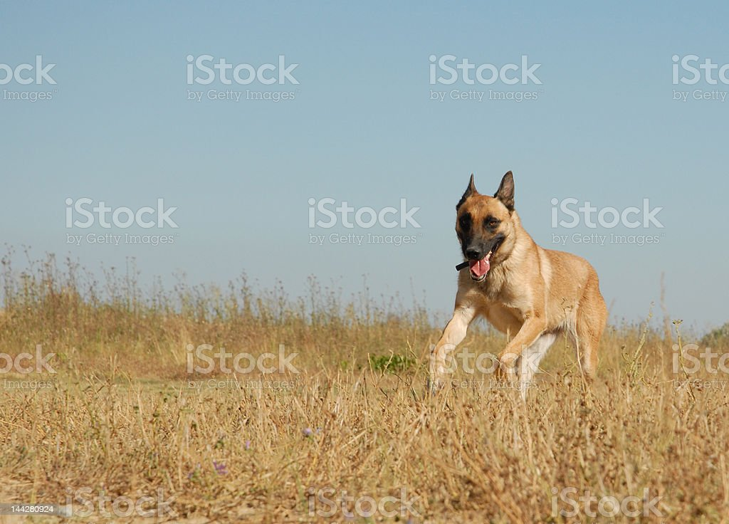 running malinois stock photo