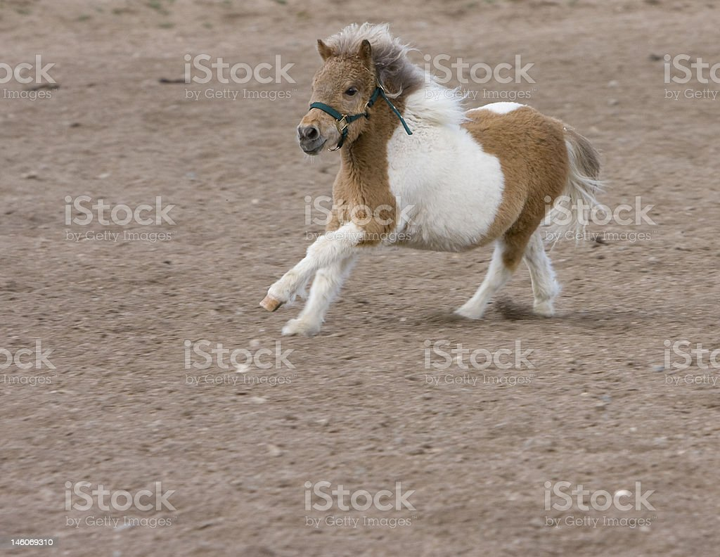 Running Miniature Horse royalty-free stock photo