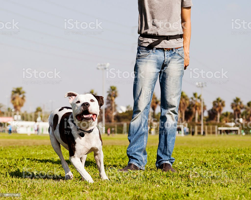 Running Pitbull with Dog Owner at the Park stock photo