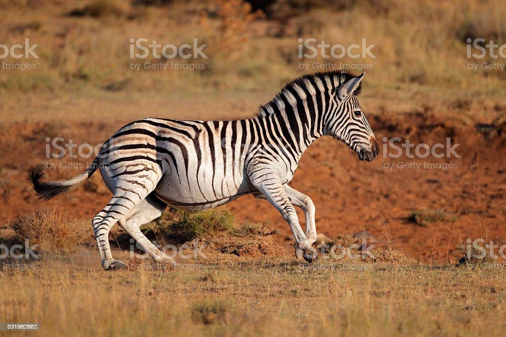 Running plains zebra stock photo
