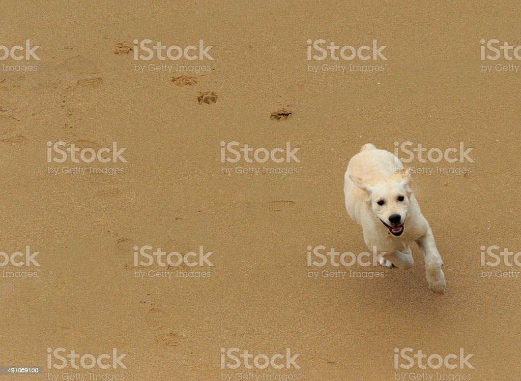 Running Puppy stock photo