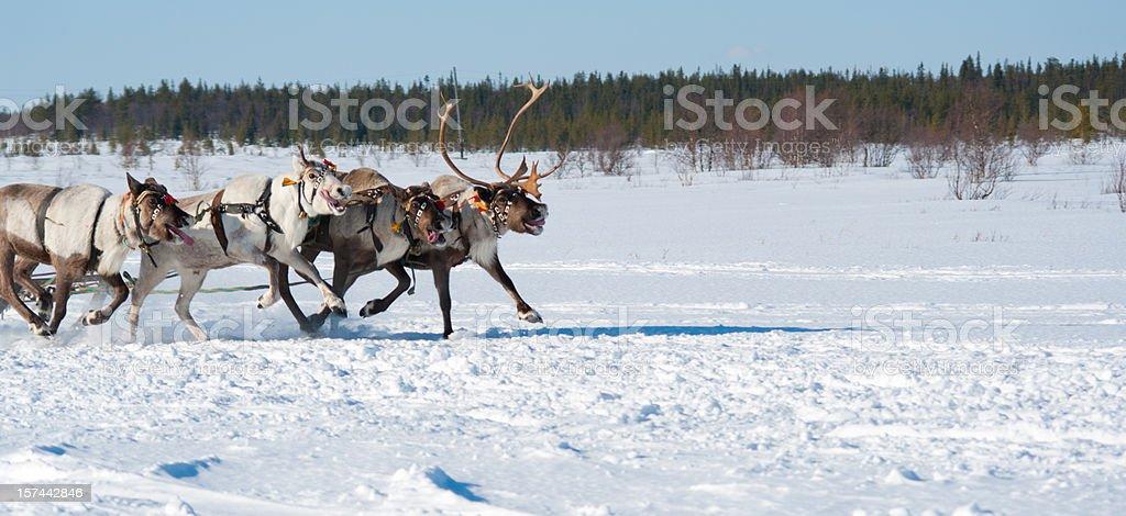 Running reindeers stock photo