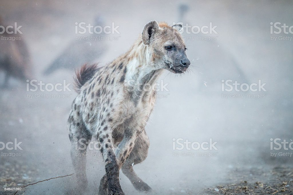 Running Spotted hyena with Vultures in the background. stock photo
