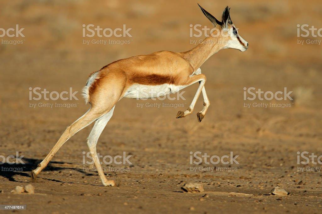 Running springbok antelope stock photo