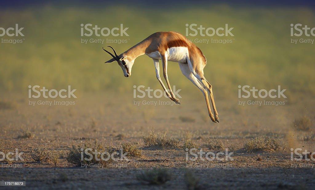 Running Springbok jumping high stock photo