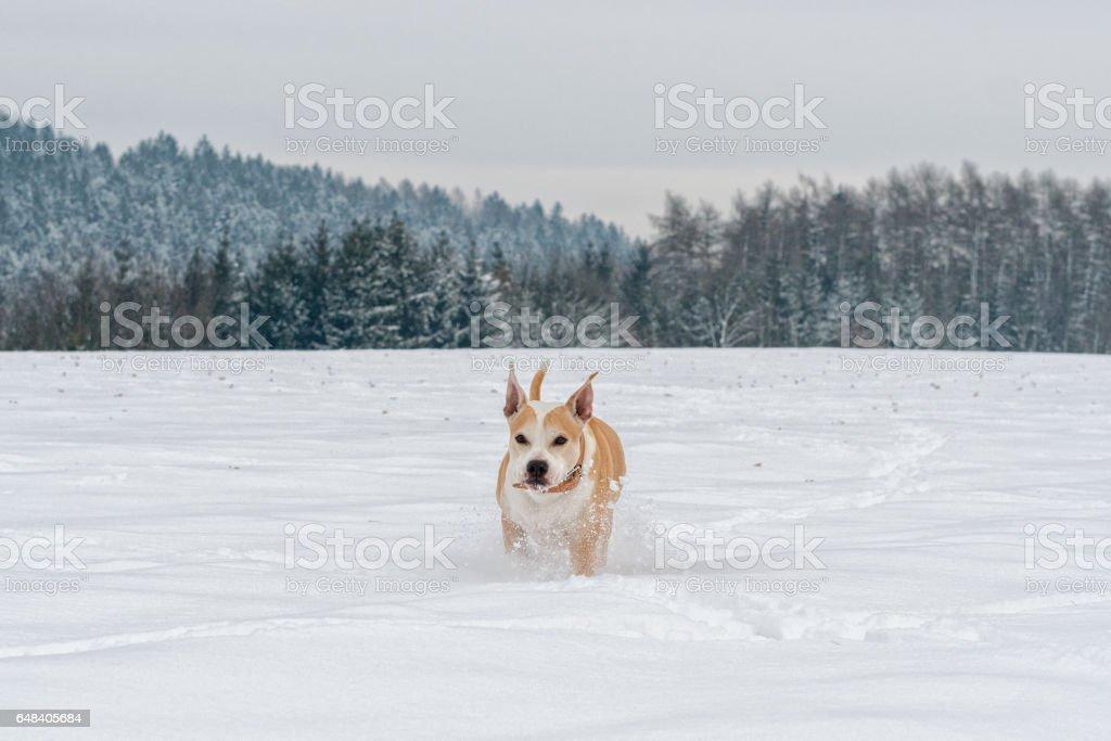 Running staffordshire bull terrier stock photo